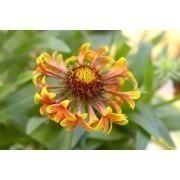 Gaillardia Fanfare - Blanket Flower