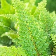 Polystichum setiferum - Soft Shield Fern