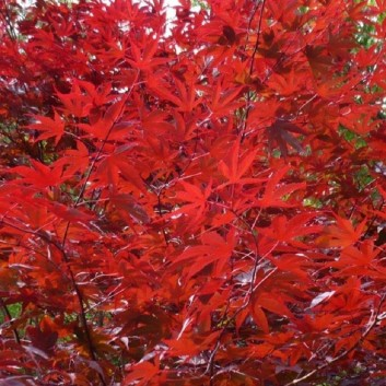 Acer Red Wine