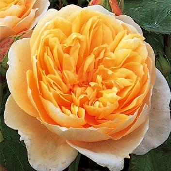 Rose Jayne Austin ® - David Austin ® Shrub Rose