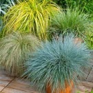 Gorgeous Grass - Pack of 10 Amazing Ornamental Grasses - Colourful Plants in 1-2 Litre Containers