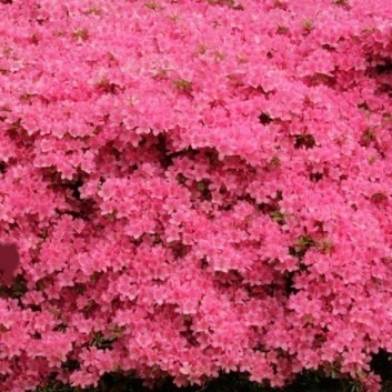 Azalea japonica Gilbert Mullie - Evergreen Japanese Azalea