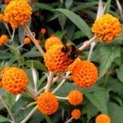 Buddleja Globosa - Orange Ball Tree Buddleia