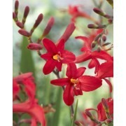 Crocosmia ''Lucifer''
