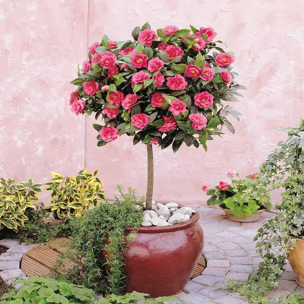 camellia tree standard pink flowering spring festival. Black Bedroom Furniture Sets. Home Design Ideas
