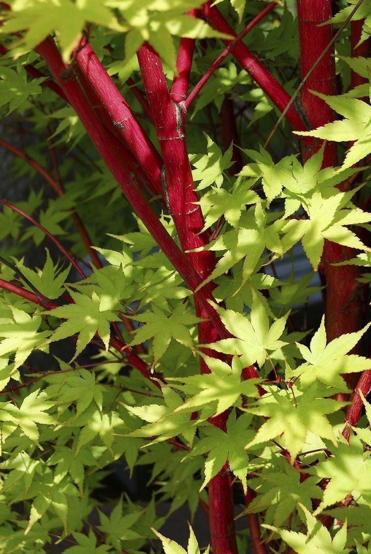acer palmatum sango kaku coral bark maple. Black Bedroom Furniture Sets. Home Design Ideas