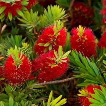 Callistemon citrinus splendens - Red Australian Bottle Brush