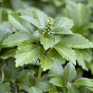 Pachysandra terminalis - Japanese Spurge - Perfect for Ground cover - Pack of TEN Plants