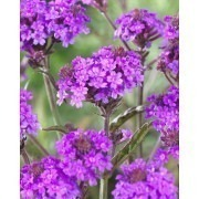 Verbena Rigida - Low Growing Perennial Purple Verbena