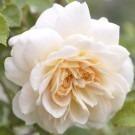 Rose Crocus Rose ® - David Austin ® Shrub Rose