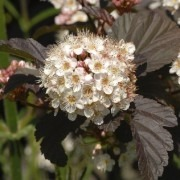 Physocarpus opulifolius Diabolo - Ninebark