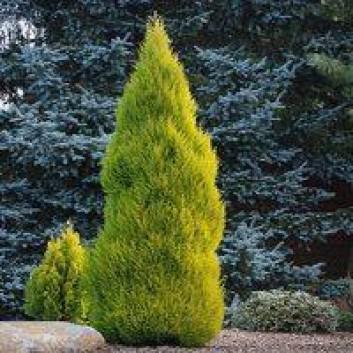 Cupressus macrocarpa Goldcrest - Lemon Scented Monterey Cypress LARGE 60-80cm +
