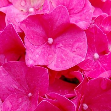 Hydrangea Giant Red Mophead - Football Sized Flowers - Large Plants