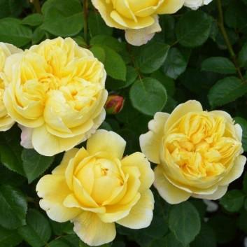 Rose Charles Darwin ® - David Austin ® Shrub Rose