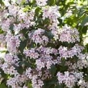 Kolkwitzia amabilis - Beauty Bush