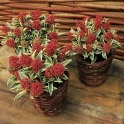 SPECIAL DEAL - Skimmia Magic Marlot - A Jewel in your Garden - Pack of THREE Beautiful Plants