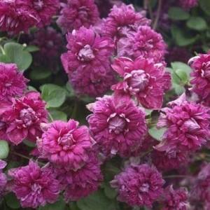 Clematis purpurea Plena Elgans - Late Summer Flowering Clematis