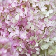 Hydrangea paniculata Vanille Fraise - Vanilla Strawberry