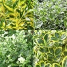 Evergreen Euonymous Selection - Pack of FOUR euonymus Plants