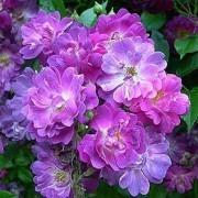 Rose Veilchenbleu - Rambling Rose