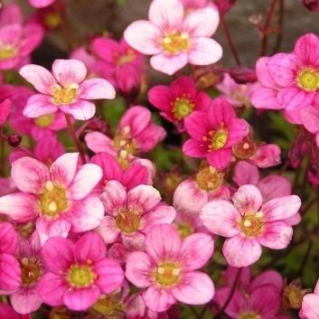BULK PACK - Saxifraga Mossy - Pack of TWELVE cushion Saxifrage Plants in Bud & Bloom
