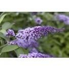Buddleja Flutterby Flow - Lavender Flow Butterfly Bush Buddleja - New & Exclusive
