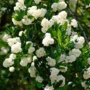 Ceanothus thyrsiflorus Millerton Point - Snow Flurries Evergreen White Californian Lilac