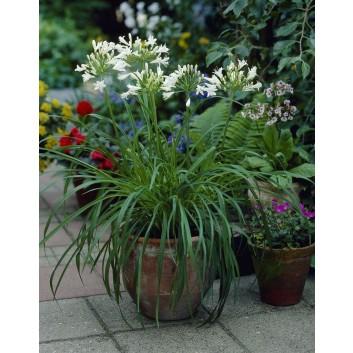 Agapanthus albus - Polar Ice - White Lily of the Nile Plants