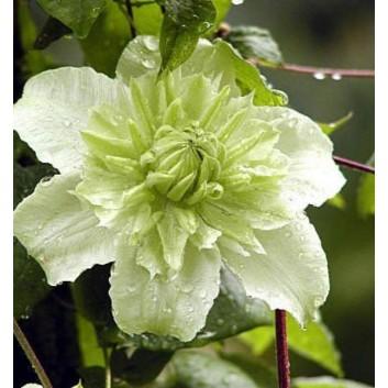 Clematis florida alba plena (flore-pleno)