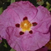 Cistus Purpureus - Rock Rose