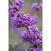 Pair of Large Callicarpa bodinieri giraldii 'Profusion' - Beauty Berry Plants in Berry