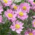 Anemone hybrida Pocahontas - Japanese Anemone Windflower
