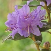 Dwarf Rhododendron Blue Tit in Bud and Bloom