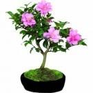 Gorgeous Bonsai Camellia Tree