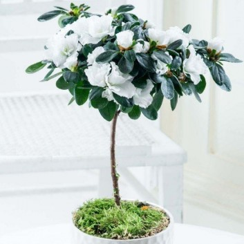 Luxury White Flowering indoor Azalea Tree with White Dislay Pot