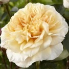 Rose English Garden ® - David Austin ® Old English Shrub Rose