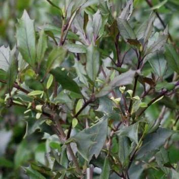 Osmanthus heterophyllus purpureus - Purpleleaf False Holly