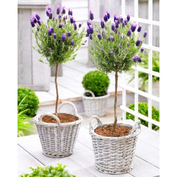SPECIAL DEAL - Pair of Beautiful French Lavender Mini Trees with BASKETS
