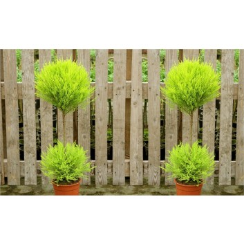 Pair of Lovely Lemon Scented Evergeen Monterey Cypress Patio Goldcrest - Duo Ball Topiary Trees with Tuscany Planters