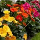 BULK PACK - Gerbera Plants - Selection of TEN Beautiful Hardy Gerberas with Giant Daisy Flowers