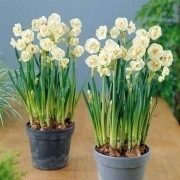 SPECIAL DEAL - Narcissus Bridal Crown - Fragrant Double Daffodils -  TWO lovely potfulls
