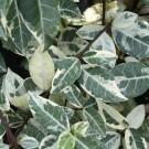 Trachelospermum jasminoides Variegata - 'Star Jasmine' Rhyncospermum