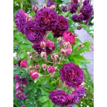 Rose Bleu Magenta - Climbing Rose Blue Magenta