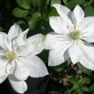 Clematis Baby Star - Late Spring Flowering Clematis