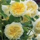 Rose The Pilgrim ® - David Austin ® Shrub Rose