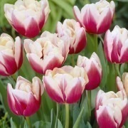 Tulipa Wirosa - Double Flowering Bicolour Tulips