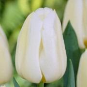 Tulipa Calgary - Cream Flamed Yellow Tulips