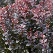 Berberis thunbergii atropurpureum - Purple Barberry