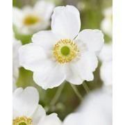 Anemone Honorine Jobert - Japanese Anemone