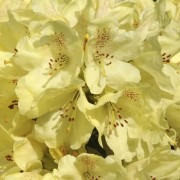 Rhododendron Goldkrone - Rhododendron Hybrid